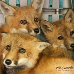 fox kits wildwoods